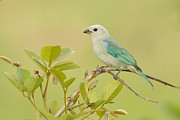 5dmk3 Prints - Blue-gray Tanager in Warm Light Print by Juan Carlos Vindas