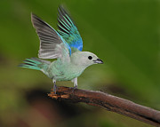 Song Bird Photos - Blue-gray Tanager by Tony Beck