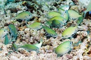 Reef Fish Posters - Blue-green Chromis On A Reef Poster by Georgette Douwma
