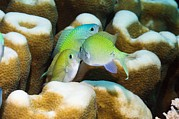 Reef Fish Posters - Blue-green Fighting On A Reef Poster by Georgette Douwma