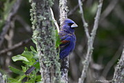 Blue Grosbeak In A Mangrove Print by Barbara Bowen