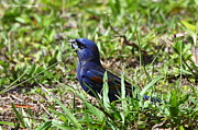 Green Key Park Framed Prints - Blue Grosbeak nibbles on seed Framed Print by Barbara Bowen