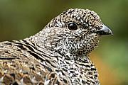 Telephoto Posters - Blue Grouse Hen 2 Poster by Larry Ricker