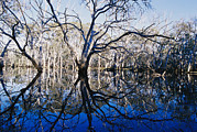 Kangaroo Island Photos - Blue Gum Trees And Reflections by Jason Edwards
