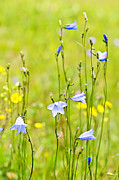Thin Photo Posters - Blue harebells wildflowers Poster by Elena Elisseeva