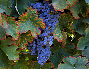 Blue Grapes Photos - Blue Harvest by Tim North