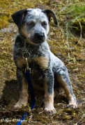 Pups Digital Art - Blue Heeler Pup by Tyra  OBryant