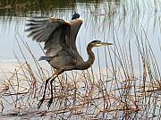 Herons Framed Prints - Blue Heron 1 Framed Print by Peter Gray