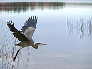 Water Prints - Blue Heron 3 Print by Peter Gray