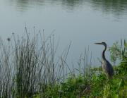 Anna Villarreal Garbis Framed Prints - Blue Heron Framed Print by Anna Villarreal Garbis
