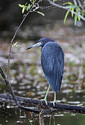 Slough Prints - Blue Heron at Florida Everglades NP Print by Juergen Roth