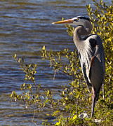 Bill Linhares - Blue Heron