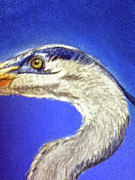 Sea Life Pastels Prints - Blue Heron close-up Print by Teresa Vecere