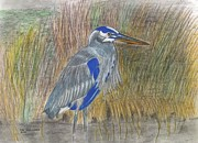 Herons Drawings Prints - Blue Heron Print by Don  Gallacher