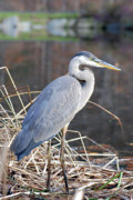 Imagine In Your Home Prints - Blue Heron Print by Don  Wright