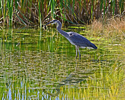 Edward Kovalsky - Blue Heron Eats Lunch1