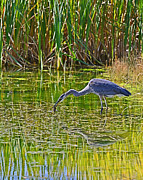 Edward Kovalsky - Blue Heron Eats Lunch2
