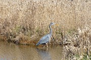 Blue Heron Fishing Print by Kathy King