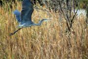 Canadian Marsh Prints - Blue Heron Flight Print by Cathy  Beharriell