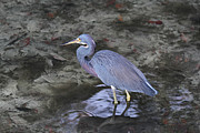 Slough Prints - Blue Heron in Estero Bay Print by Juergen Roth