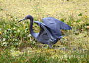Green And Blue Posters - Blue Heron in the Marsh Poster by Carol Groenen