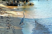 Crimson Tide Photo Prints - Blue Heron on the Beach Print by Michael Thomas