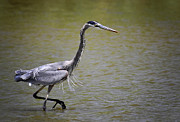 Great Birds Prints - Blue Heron on the Hunt  Print by Saija  Lehtonen