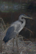 Oil Slick Mixed Media Framed Prints - Blue Heron Painting  Framed Print by Don  Wright