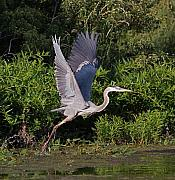 Birds Mixed Media Metal Prints - Blue Heron Metal Print by Robert Pearson