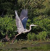 Blue Heron Print by Robert Pearson