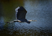 Great Blue Heron Posters - Blue Heron Skies  Poster by Saija  Lehtonen