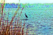 Maryland Art - Blue Heron Standing in the Shallows by Bill Cannon