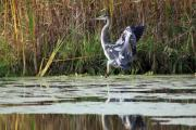 Big Bird Prints - Blue Heron Touching Down Print by Cathy  Beharriell