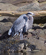 Blue Heron  Print by Tracey Levine