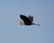 Joseph Duba Metal Prints - Blue Heron version 5 2008 Metal Print by Joseph Duba