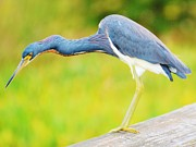 William Wyckoff - Blue Heron
