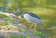 J Jaiam - Blue Heron With Fish