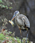 Water Bird Photos - Blue Heron with fish by Paul Ward