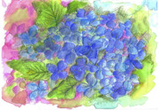 Nature Study Drawings Prints - Blue Hydrangea Print by Cathie Richardson