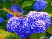 Methune Hively Prints - Blue Hydrangea Print by Methune Hively