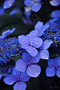 Water Drops Prints - Blue Hydrangea Print by Noah Cole
