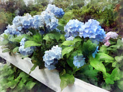 Hydrangea Posters - Blue Hydrangea on White Fence Poster by Susan Savad