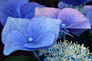 Garden Flowers Photo Originals - Blue Hydrangea. by Terence Davis