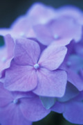 Floral Greeting Cards Posters - Blue Hydrangeas Poster by Kathy Yates