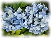 Jagged Border Photo Framed Prints - Blue Hydrangeas with Watercolor Effect Framed Print by Rose Santuci-Sofranko