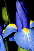 Goddess Of Love Prints - Blue Iris Garden Print by Carolyn Marshall