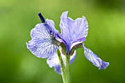 Flower Photos Posters - Blue Iris Germanica Poster by Frank Tschakert