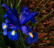 The Flower Photographer - Blue Iris by Glenn Franco Simmons