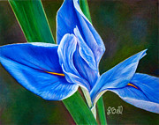 Pencil Drawing Pastels Prints - Blue Iris Print by Laura Bell