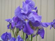 Blooms Pyrography - Blue Iris by Laurie Kidd